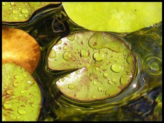 lily pad by xheartsandcirclesx