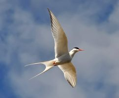 Arctic Tern 04 by nordfold