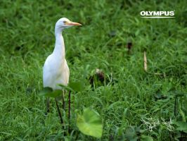 P5248568 Cattle Egret by jitspics