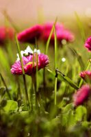Just daisies by j-adree