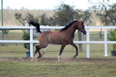 GE Arab rosegrey engaged trot side view by Chunga-Stock