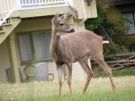 Deer 02 by Limited-Vision-Stock