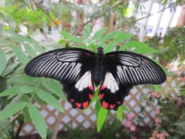 Scarlet Mormon Dorsal View by death-pengwin