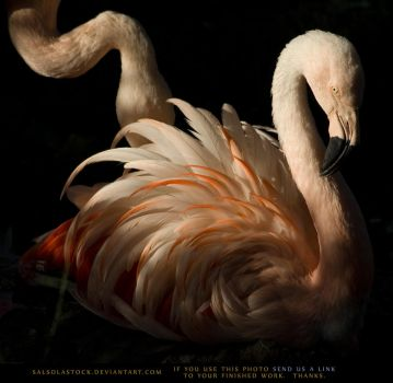 Flamingo 5 by SalsolaStock