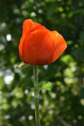 Red Poppy by OfTheDunes