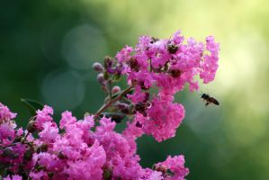 Crape Myrtle by organicvision