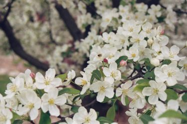 blossoms by observer06