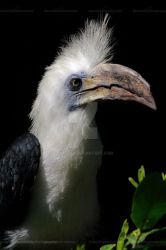 The White-crowned Hornbill by Sam2103
