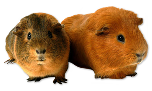 2 Guinea Pig Png #002 by AkilajoGraphic