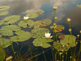 Waterlily by kat-0