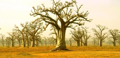 Baobabs... by ElGroom