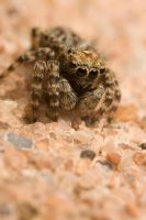 Jumping spider 4 by Alliec