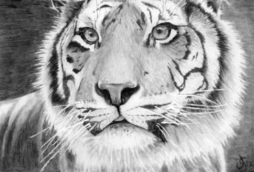 Tiger by sythesite
