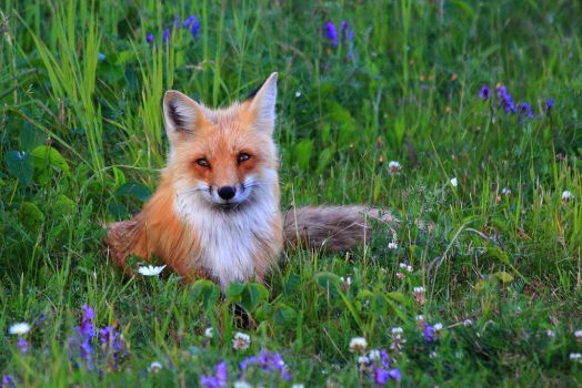 Stock: Fox by Celem