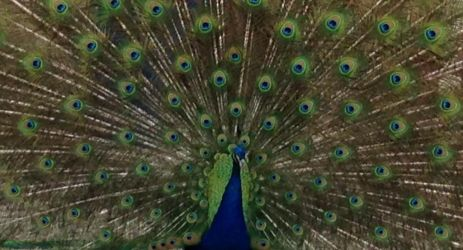 George the Peacock by WarHorse79