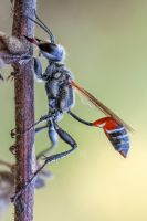 wasp (Ammophilinae sp.) by zgrkrmblr