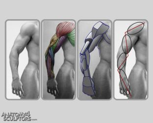 Anatomy for Sculptors 27 by anatomy4sculptors