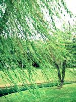Weeping Willow Curtain by HA91