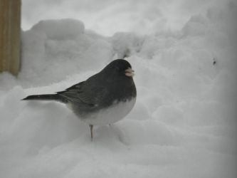 Slate Coloured Junco by KaraCrane
