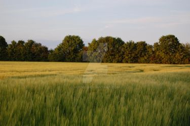 Field of Barley by hippo2