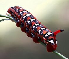 Caterpillar of the spurge (Hyles euphorbiae) by rajaced