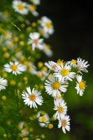 Bushy Aster 1 by LucieG-Stock