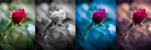 Beauty of a Rose (other versions) by JoeGP