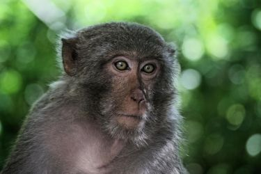 Macaque by stinebamse