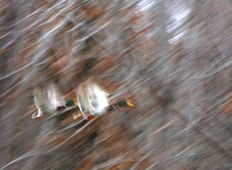 Abstract Ducks by abstractxposure