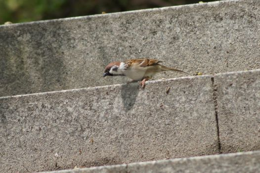 Sparrow in attack. by freyaless