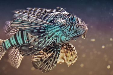RED LIONFISH by ELKAPL