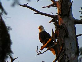 Eagle At Sunset In Tree by wolfwings1
