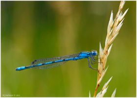 Blue Damsel by andy-j-s