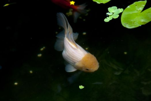 Full White Giant Oranda Goldfish by PhucTran