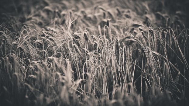 corn by trausse