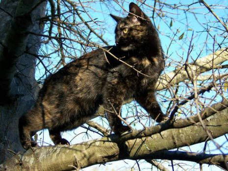 Manx in a tree by fillysart