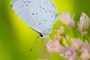 nice butterfly by elspeth-66
