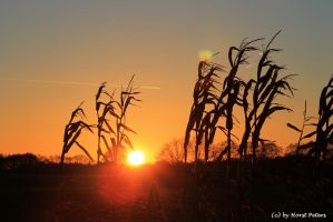 Sunset In The Maize Field 4 by bluesgrass