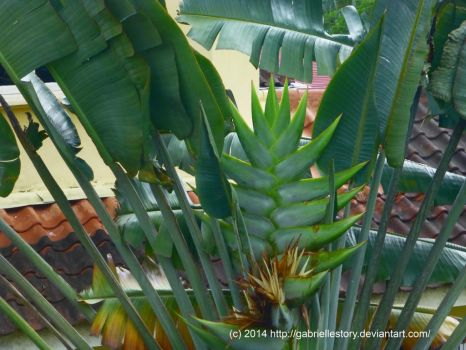 Traveller's Palm (Ravenala madagascariensis) by gabriellestory