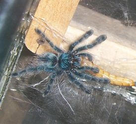 avicularia versicolor by Teru-Shinju