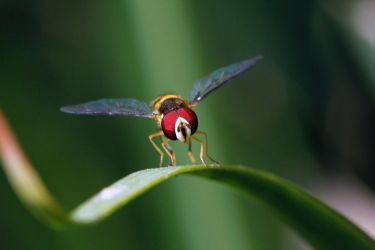 Hoverfly - Mimic by suhleap
