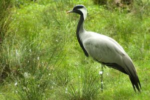 Demoiselle Crane in green by steppeland