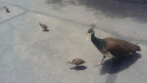 Mother Peacock with Babies 2 by FlowersAndHorses