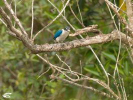 Collared kingfisher by jitspics