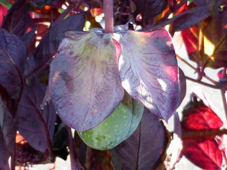 Cobaea scandens by Lingha