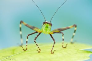 Katydid by ColinHuttonPhoto