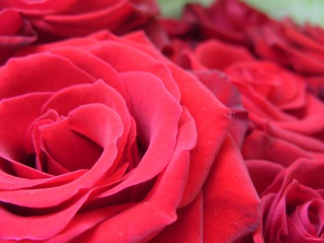 Rose Series 4 by Stephy--Stock