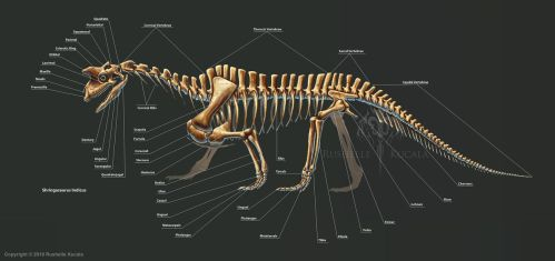 Shringasaurus Indicus Skeleton Study by TheDragonofDoom