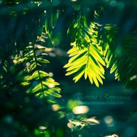 Fir tree by TammyPhotography