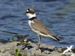 Visit the Little Ringed Plover by albatros1